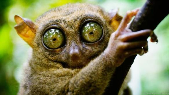 Tarsier has eyes that are larger than it's brain. Bohol island, Philippines.. Image shot 2006. Exact date unknown.